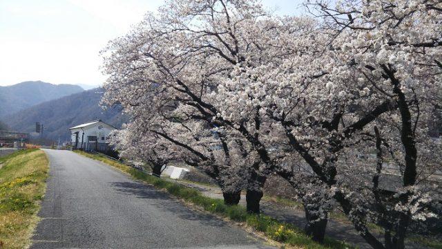 道沿いの桜を撮影した写真