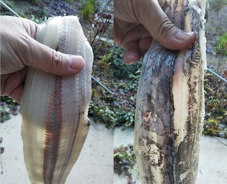 漬け込みが終わった太刀魚を撮影した写真