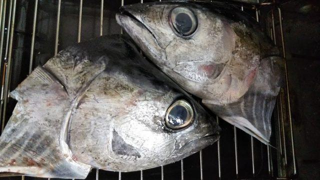 キハダマグロの頭に塩をふりかけて、魚焼きグリルで焼くときの写真